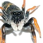 Jovial Jumping Spider(Ocrisiona jovialis) by Andrew Bonnitcha