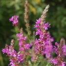 Purple Loosestrife by Linda  Makiej