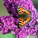 Buddleia Butterfly by lisa1970