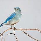 Mountain Bluebird by Eivor Kuchta