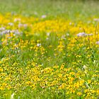 The Alpine Wildflowers of Sun Peaks by Margaret Goodwin