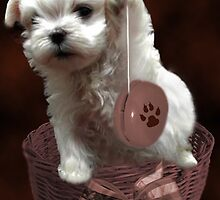 MALTESE PUPPY-JUST PLAYIN WITH MY YO-YO - I WONDER IS ANYBODY WATCHING LOL /PICTURE/CARD by ✿✿ Bonita ✿✿ ђєℓℓσ