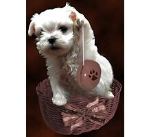 MALTESE PUPPY-JUST PLAYIN WITH MY YO-YO - I WONDER IS ANYBODY WATCHING LOL /PICTURE/CARD Photographic Print