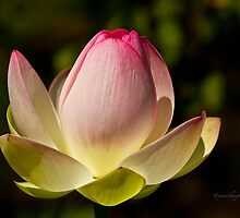 My Lotus Flower by Yannik Hay