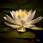 White Water Lily (Nymphaea alba) by Vickie Emms