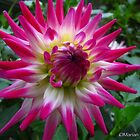 Delightful Dahlias by MarianBendeth
