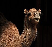 Camel Watching by Sea-Change