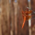 Red Dragonfly Side View by IreKire