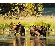 Two Moose Photographic Print