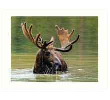 Wild Moose in Colorado Art Print