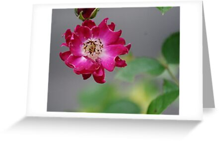 Rose with Dew by Barry Doherty