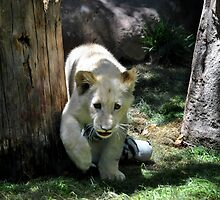 White lion cub by Eleu Tabares