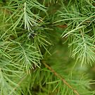 Larch Needles by Pam Hogg