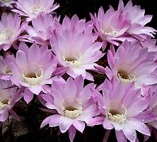Profusion of Pink Cactus by Carole-Anne