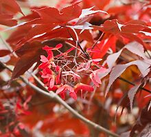 red maple by spetenfia