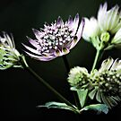 Astrantia - In the Shadows by T.J. Martin
