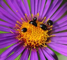 Beetles on New England Aster by Kane Slater