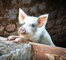 Cute White Pig by Graham Prentice