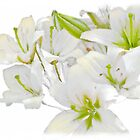 White Lilies by Peter Stratton