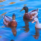 Inquisitive on Playford Lake by indiafrank