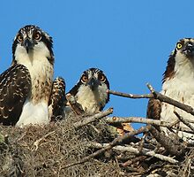 Osprey Family Photo by jozi1