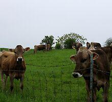 Grumpy Cows by samesphoto