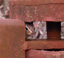 Baby chipmunk in rusty gate by Krissa Klein