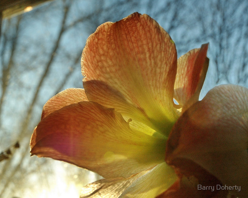 Amaryllis in the Window by Barry Doherty
