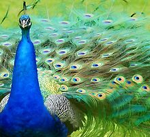 Peacock by Lyn Evans