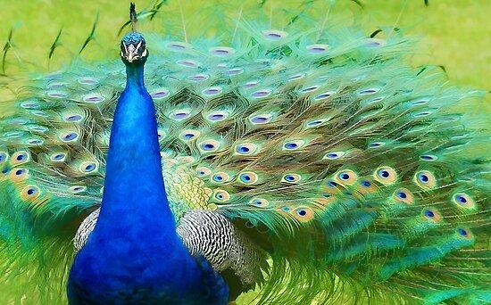 Peacock by Lyn Evans