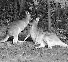 Kangaroos by Creativity for S4K