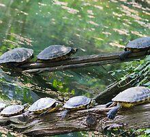 tortoise on lake by spetenfia