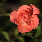 Tender Rose by Irina777