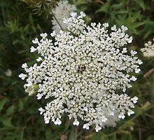 Queen Anne's Lace by schwaes