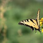 Swallowtail Butterfly – Shenandoah National Park, Virginia by Jason Heritage