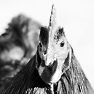 Black and white rooster by Danielle Espin