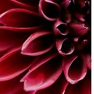 The red dahlia (original version) by Kell Rowe