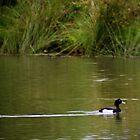 Tufted Duck by missmoneypenny