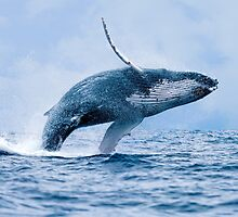 Breaching Humpback Whale by Paul Wolf