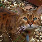 A Bengal Cat by AnnDixon