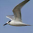 Sandwich Tern by Dennis Cheeseman