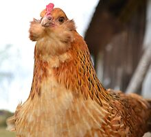 Birdie Gains Confidence by mychickens