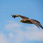 Yellow-billed Kite by M.S. Photography & Art
