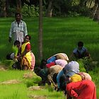 The colour of the sari - women in rice fields by indiafrank