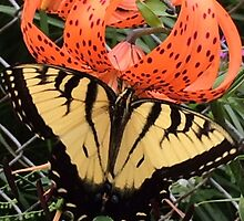 Butterfly on a Tiger Lily by Justin Kipp