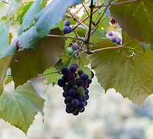 grape and vineyard in spring by spetenfia
