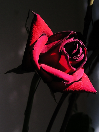 The Rose by Barry Doherty