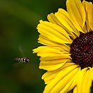 Sunflower landing strip by Celeste Mookherjee