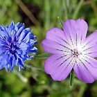 Corncockle and Cornflower by Barrie Woodward