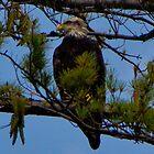 Bald Eagle on Lake Glenville by KSKphotography